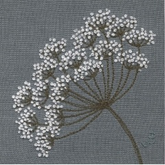 Cow Parsley 36